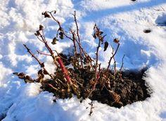 Cum se face altoirea cu ramură detașată, sub scoarța terminală Paradis, Plant