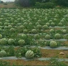 Oh you Texas watermelons. You've ruined me for any other watermelon. Fruit Plants, Fruit Garden, Fruit Trees, Vegetable Garden, Fruit And Veg, Fruits And Veggies, Vegetables, Watermelon Farming, Farming Techniques