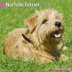 Norfolk Terrier 2013 Wall Calendar X by Pet Prints… Norfolk Terrier Puppies, Spider Bites, Norwich Terrier, Cairn Terriers, Evil People, Dog Rules, Jack Russell Terrier, Pet Birds, Reptiles