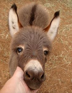 miniature-donkey17
