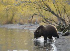 Фото Игоря Шпиленка. #Russian_Photo #animals #bear #nature http://rosphoto.com/a_igor_shpilenok