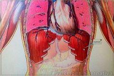 El diafragma es una pared de músculos y tendones que separa la cavidad del pecho del abdomen. Forma el suelo de la cavidad pectoral y el techo de la cavidad abdominal. El diafragma está sujeto a la parte interna a las costillas inferiores y a la zona lumbar de la columna. Con forma de cúpula …