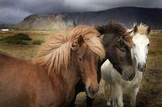 Картинки по запросу Исландская лошадь
