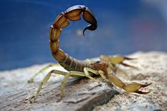"Androctonus australis. This is probably the second most potentially ""dangerous"" scorpion species in the world. The generic name ""Androctonus"" means ""mankiller."""