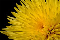 Yellow Chrysanthemum Macro by EncroVision  on 500px