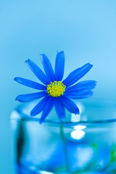 everyday a different color, beautiful gifs, soft goth, nature. images that I like and attract my attention. I hope you'll find images here for your taste too. Blue Daisy, Himmelblau, Love Blue, Blue Aesthetic, Something Blue, My Favorite Color, Blue Flowers, Exotic Flowers, Yellow Roses