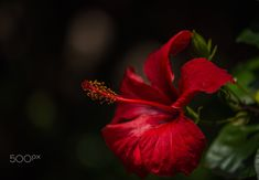 Red passion - null
