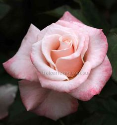 Mary MacKillop Rose High centred blooms of shell pink deeply edged with rose pink on the outer petals. The blooms are lightly fragrant, carried either singly or in clusters of two or three per stem. Medium height bush with dense foliage and a recurrent, very free flowering habit