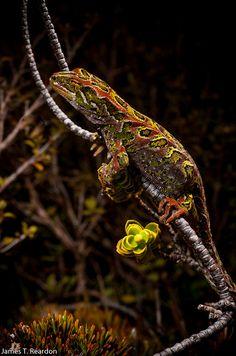 De Harlequin Gecko, Tukutuku rakiurae (Gekkonidae), voorheen Hoplodactylus rakiurae , is misschien wel het meest opvallende gekko van Nieuw-Zeeland met grote omrand plekken in rijen langs het lichaam, en op de kop [ 1 ]