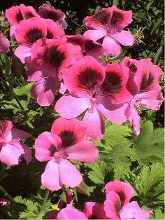 'Roger's Delight' scented geranium