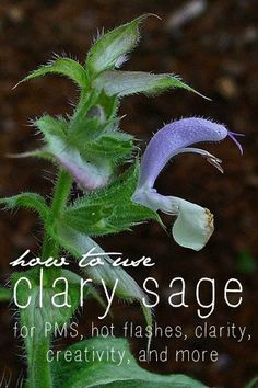 38 Benefits and Uses for Clary Sage Oil