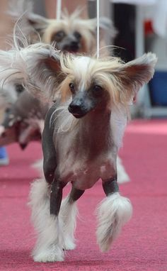 https://flic.kr/p/bpwbD7 | Chinese Crested hairless Dog