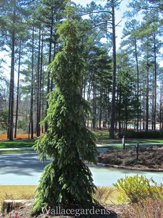 """Picea omorika 'Pendula Bruns' (Weeping Blue Spruce) Talk about the perfect """"vertical accent"""" for the garden….it would have to be this fine-textured conifer. 'Pendula Bruns' soars above its surroundings with artistic verve, and can hardly be overlooked as anything but extraordinary. It has a narrow upright growth habit with a strong central leader that points skyward, while its elegantly weeping branches flow downwards, surrounding the base of the tree like a ball gown. In spring, bri..."""