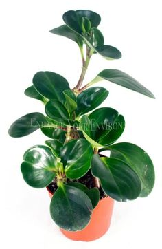 10 Houseplants That Need (Almost) Zero Sunlight - House Fur Indoor Plants Low Light, Best Indoor Plants, Indoor Herbs, Peperomia Plant, Plant Cuttings, Perennial Flowering Plants, Household Plants, Growing Plants Indoors, Decoration Plante