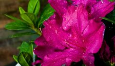 Fuchsia Extravagance™ ReBLOOM™ Azalea PPAF features large, single, fuchsia flowers that appear in spring, then rebloom in summer, and continue blooming until hard frost.