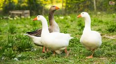 How and When to Pair Ganders and Geese | Pets4Homes