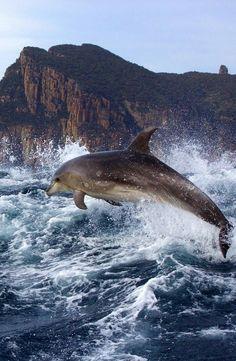 Dolphin on the Tasman Peninsula, Tasmania