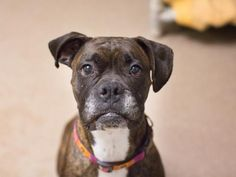 Adoptable Animals - Dogs | Edmonton Humane Society  Nicola (90557) Breed: Boxer Age: 7 years 4 weeks Sex: Female Spayed Size: Domestic Colour: Brindle