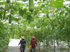 (Winter melon-3) Taiwan Medium-type Winter melon; Benincasa hispida; 冬瓜