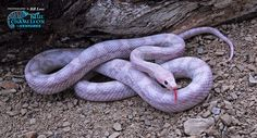 Corn Snake - Hypo Lavender Morph....I will own one someday! (maybe in the not so distant future)