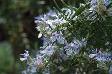 Usos medicinales del Romero (Rosmarinus officinalis).
