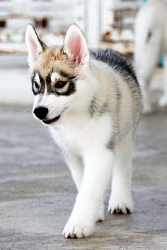 Husky puppy with a beautiful mask.