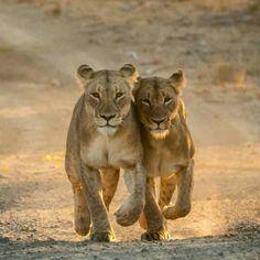Awesome shot of the Lions, Kruger National Park, South Africa. Foto by @latestkruger (Instagram)