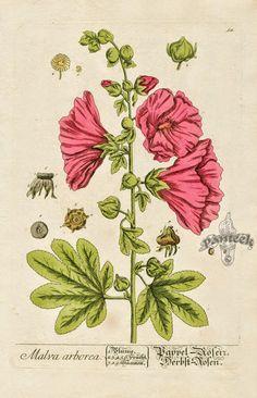 """Elizabeth Blackwell fue una ilustradora botánica, nacida en Escocia en 1707. Su trabajo fue reconocido con la publicación de """" A curious H..."""