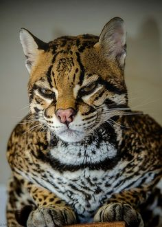 """Ocelot, part of """"the small cat family"""", at Banham Zoo   by ScottD Photography - Look at those beautiful patterns..."""