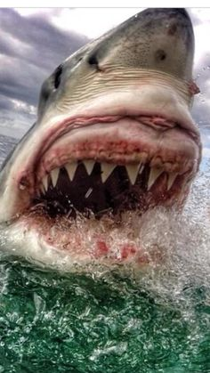I have Great White shark gums! Shark Pictures, Shark Photos, Shark Week, Save The Sharks, Shark Tale, Underwater Life, Great White Shark, Ocean Creatures, Killer Whales