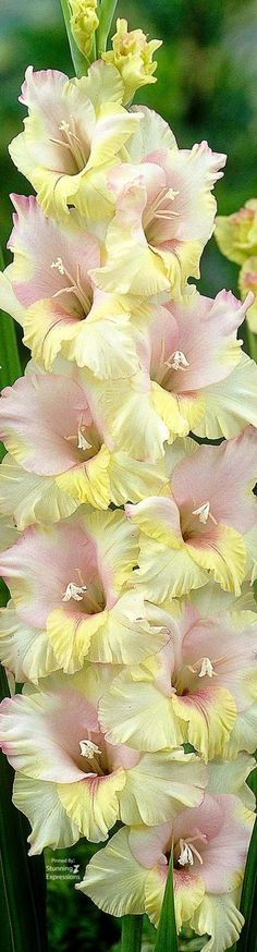Religious Magic And Spiritual Ability Element One Gladiolus August Flower Stunning Expressions Gladiolus Bulbs, Gladiolus Flower, Amazing Flowers, Beautiful Flowers, Rare Flowers, Foliage Plants, Flower Photos, Amazing Gardens, Garden Plants
