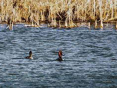 There are a lot more Redhead ducks this year at Heron Heaven and they are pairing up for the mating season.