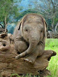 En poserande bebiselefant...