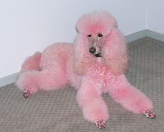 Poodle Dogs I have always wanted a giant white poodle that i can dye pink (naturally of course, nothing harmful) ___ Thank You to Visit our Website. Poodle Grooming, Dog Grooming, Pink Animals, Cute Animals, Unusual Animals, I Love Dogs, Cute Dogs, Poodle Haircut, Poodle Hairstyles