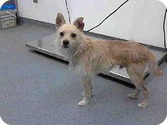 Tulsa, OK - Chihuahua/Cairn Terrier Mix. Meet BANDIT, a dog for adoption. http://www.adoptapet.com/pet/11840616-tulsa-oklahoma-chihuahua-mix