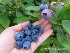 Grow your own antioxidants--blueberries, that is. One of our fav garden bloggers, Theresa Loe, shares her secrets for successfully growing these nutritious berries in containers. || @Theresa Loe