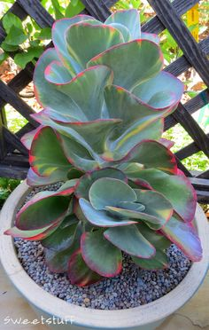 Kalanchoe luciae 'Fantastic' (Variegated Paddle Plant) is a stunning succulent, up to 2 feet cm) tall and about the same in width, with a collage of. Unusual Plants, Cool Plants, Air Plants, Garden Plants, Indoor Plants, House Plants, Indoor Cactus, Cactus Cactus, Growing Succulents