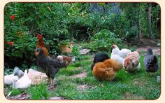 Chickens Having Fun