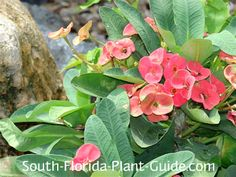 Crown of Thorns Euphorbia milii Crown of thorns likes it hot, dry and sunny - making it a perfect plant for spots where nothing else wants to grow. One of South Floridas most drought-tolerant plants, it flowers nearly year round.
