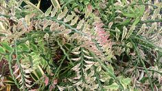Devil's Backbone are succulent #houseplants with thick zigzag stems. http://www.houseplant411.com/askjudy/how-to-care-for-a-devils-backbone-plant-pedilanthus-tithymaloides
