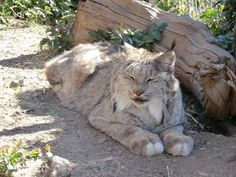 Visit the lynx and other animals at Heritage Park Zoo