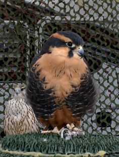 Very pretty Aplomodo falcon