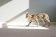 30 Savannah Cats That Are Redefining How Cute Cats Can be Gatos Serval, Serval Cats, Ashera Cat, Gato Munchkin, Munchkin Cat Scottish Fold, Funny Cat Wallpaper, Cat Brain, Cat Enclosure, Reptile Enclosure