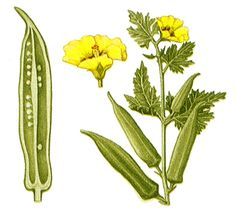 Botany Okra, or Gumbo, a garden plant closely related to the hibiscus. Okra produces a pod eaten in Cactus Plants, Garden Plants, Zone 9 Gardening, Growing Okra, Okra Plant, Subtractive Color, Sources Of Vitamin A, Plant Drawing, Planting Vegetables