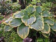 Hosta Sagae Gigantic, slug-resistant leaves over 12 inches long! As low as $15.45