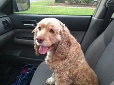@smrtgrls #smartgirlsadopt #dogismycopilot Coco: adopted 11/22/14 @JazHnds