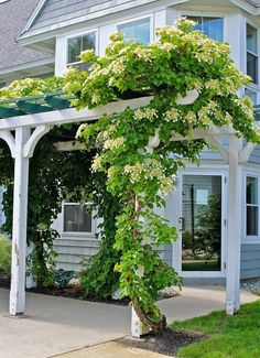 40 Best and Beautiful Climbing Flowers for Fences Ideas - DecoRewarding Kletterhortensie Climbing Hydrangea, Climbing Vines, Climbing Flowering Vines, Wall Climbing Plants, Climbing Flowers Trellis, Backyard Pergola, Backyard Landscaping, Pergola Ideas, Fence Ideas