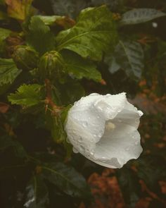 #Flower #white #green #love #drops #agua #water #lluvia #gotas #day #rain #rainyday #fotografía #my #photo