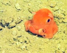Nicknamed the flapjack octopus, these fragile deep sea creatures are just seven inches wide and parachute through the water with webbed tentacles. Tiny Octopus, Dumbo Octopus, Cute Octopus, Octopus Adorabilis, Deep Sea Creatures, Cute Creatures, Beautiful Creatures, Flapjack Octopus, Marine Biology