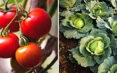 tomatoes and cabbage